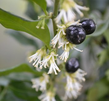 Sarcococca confusa 10 flower