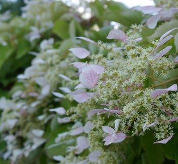 Schizophragma hydrangeoides 'Roseum' 13 flower