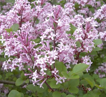 syringa meyeri 39 palibin 39 palibin meyer lilac plant lust. Black Bedroom Furniture Sets. Home Design Ideas