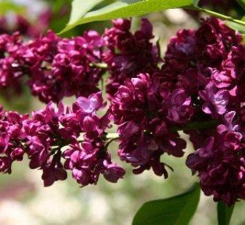 Syringa vulgaris charles joly