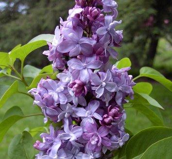 Syringa Vulgaris Nadezhda Nadezhda Common Lilac Plant