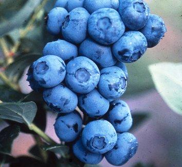 Vaccinium corymbosum 'Duke' 1 fruit
