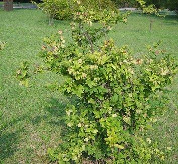 Abeliophyllum distichum 4 form