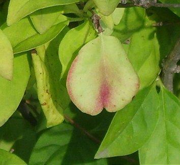 Abeliophyllum distichum 2