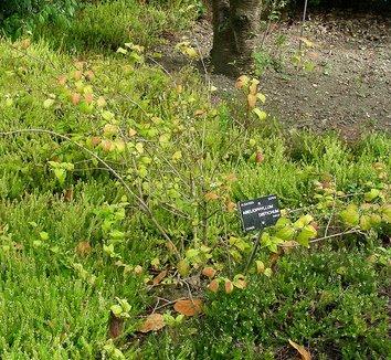 Abeliophyllum distichum 8 form