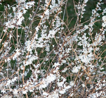 Abeliophyllum distichum 10 flower