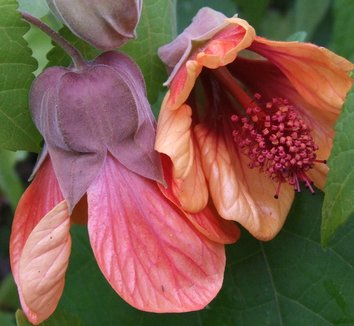Abutilon 'Dennis' 1 flower