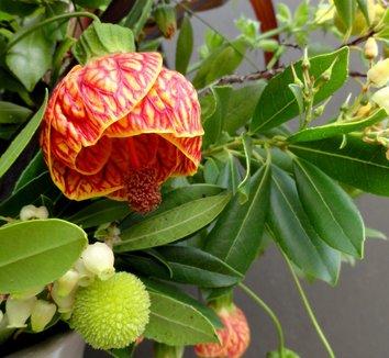 Abutilon 'Tiger Eye' 1 flower