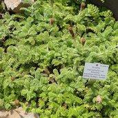 Acaena myriophylla