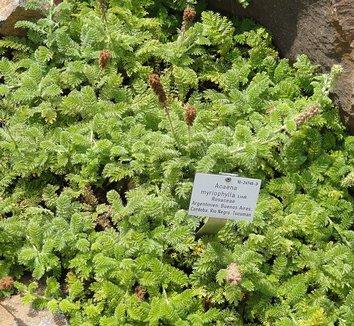 Acaena myriophylla 1