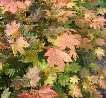 Acer circinatum 'Del's Dwarf' 1