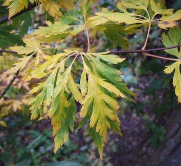 Acer circinatum 'Monroe' 1