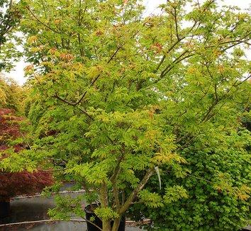Acer circinatum 'Monroe' 8 form