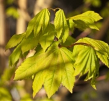 Acer circinatum 'Pacific Fire' 8