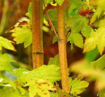 Acer circinatum 'Pacific Fire' 10