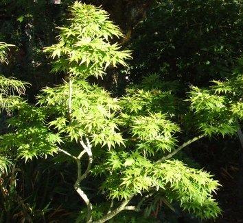 Acer palmatum 'Mikawa Yatsubusa' 1 form