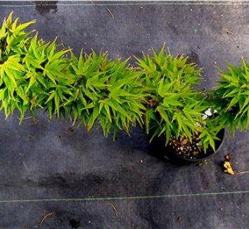 Acer palmatum 'Mikawa Yatsubusa' 6 form