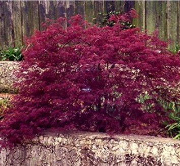 Acer palmatum 'Red Filigree Lace' 1 form
