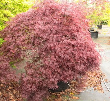 Acer palmatum 'Red Filigree Lace' 15 form