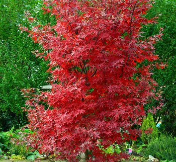 Acer palmatum 'Twombly's Red Sentinel' 15 form