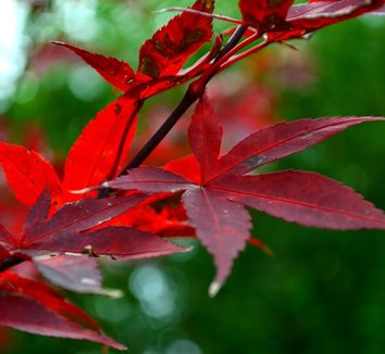 Acer palmatum 'Twombly's Red Sentinel' 14