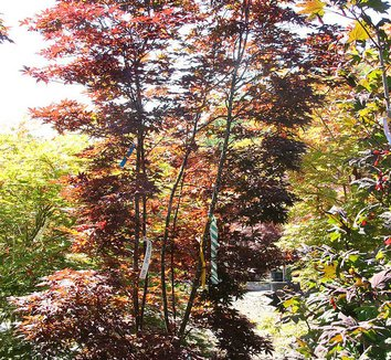 Acer palmatum 'Twombly's Red Sentinel' 16 form