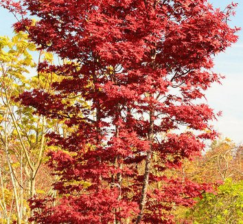 Acer palmatum 'Twombly's Red Sentinel' 17 form