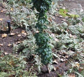 Acer platanoides 'Rezek' 1