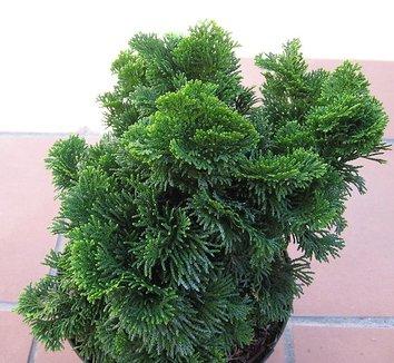 Chamaecyparis obtusa 'Nana Gracilis' 9 form