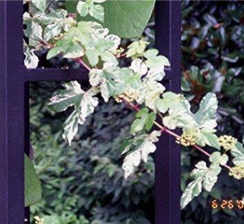 Ampelopsis glandulosa var. brevipedunculata 'Elegans' 10