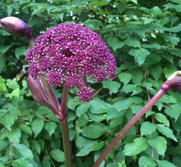Angelica gigas 10 flower