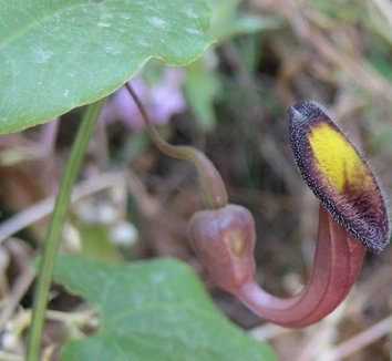 Aristolochia sempervirens 4 flower