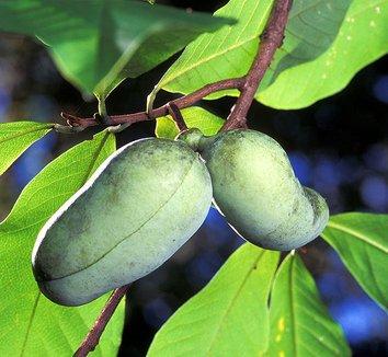 Asimina triloba 8 fruit