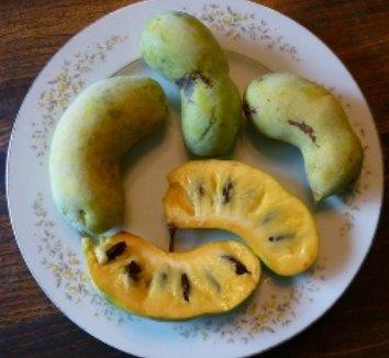 Asimina triloba 12 fruit
