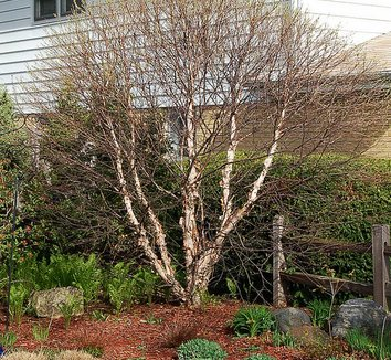 Betula nigra 'Little King' 1 form, winter