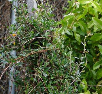 Billardiera longiflora 8