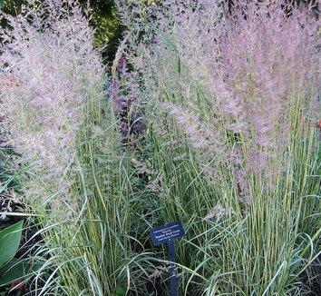Calamagrostis x acutiflora 'Eldorado' 1 flower