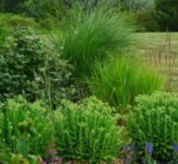 Calamagrostis x acutiflora 'Eldorado' 2 landscape