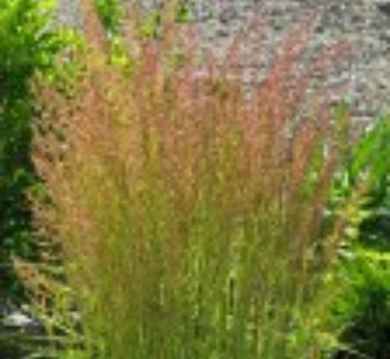 Calamagrostis x acutiflora 'Eldorado' 4 flower
