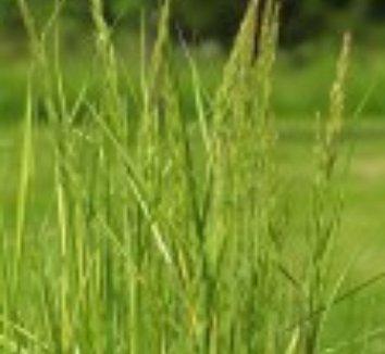 Calamagrostis x acutiflora 'Eldorado' 5 flower