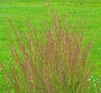 Calamagrostis x acutiflora 'Eldorado' 8 flower