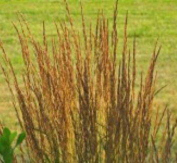 Calamagrostis x acutiflora 'Eldorado' 9 flower