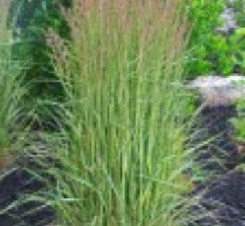 Calamagrostis x acutiflora 'Eldorado' 12 flower