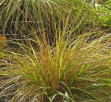Calamagrostis x acutiflora 'Eldorado' 13