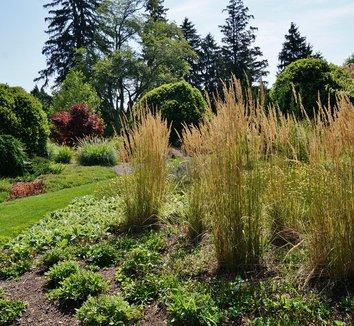 Calamagrostis x acutiflora 'Karl Foerster' 11 landscape