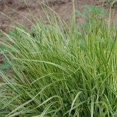 Calamagrostis × acutiflora 'Overdam'