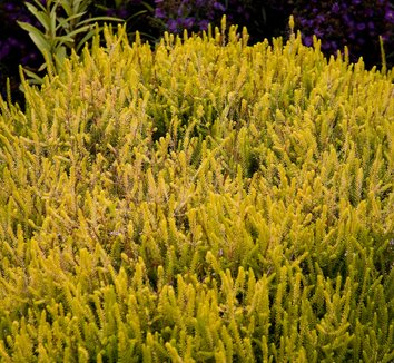Calluna vulgaris 'Robert Chapman' 1