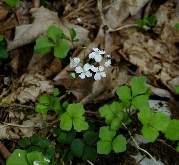 Cardamine trifoliata 4 flower, form