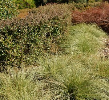 Carex comans 'Frosted Curls' 4