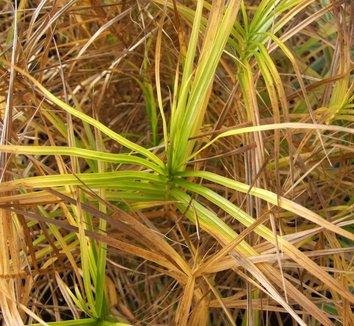 Carex muskingumensis 'Oehme' 1 form